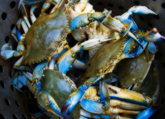 Blue Crabs, Easton, Maryland 073624