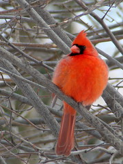 GO Cardinals ;) on my 1st flickr Anniversary (flipkeat) Tags: male bird nature birds closeup port cards outdoors cardinal wildlife awesome sunday super bowl credit superbowl northern 2009 mania cardinals cardinaliscardinalis birdwatcher justonelook wingedwonders xliii platinumphoto impressedbeauty impressesdbeauty citrit goldstaraward thebestofday gnneniyisi thewonderfulworldofbirds slbperched