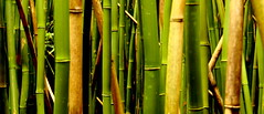 Bamboo close up (Steffen und Christina) Tags: usa green horizontal closeup forest hawaii 123 maui bamboo trunk grn wald nahaufnahme pipiwaitrail bambus stamm kipahulu haleakalanationalpark stmme