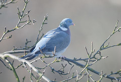 Wood Pigeon, Columba palumbus, in an Apple Tree (Steve Greaves) Tags: winter sunlight bird nature grey shadows bokeh pigeon dove wildlife large aves naturalhistory common avian appletree culver woodpigeon malus columbapalumbus commonwoodpigeon nikond300 nikonafsii400mmf28ifedlens