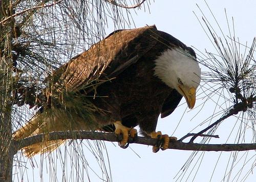 Eagle Examines Twig 20090113