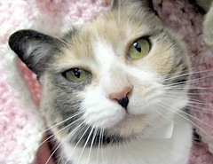 What a Sweet Face on this Diluted Calico or Torti. Her Name is December. (Pixel Packing Mama) Tags: beautiful wonder catsandkittensset exclamationpoints heartlandhumanesociety catpix pixelpackingmama closerandclosermacrophotography furryfridaypool dorothydelinaporter worldsfavorite beautifuluniverse wonderfulunlimited catcloseups montanathecat~fanclubpool pinkset ceruleanthecat~fanclubpool cbat catssmalltobigpool exclamationpointspool pixwithexclamationpointsincommentsset justmoggiespool catscookiecatfriends~pool calicocatstortiortortoisedilutedornotset catslookingatyoupool dilutedcalicoandtortikittiespool exme focusontheheadpool kittyfacefacesonlypool catfacespool catcatscatzpool allcatsallowedpool allthingsmacropool canonpowershota720isiistart112508set canonallcanoniistart112508set thecorvallisoregonyears6set thecorvallisoregonyearsiistarting112508set catmacropool uploadedfirsthalfof2009set favoritedpixvoliistartingjanuary12009set uploadedfirsthalfof2009 kittycatpeople4peoplewhoaremadaboutcatspool exclamationpointsincommentsset pixelpackingmama~prayforkyronhorman oversixmillionaggregateviews over430000photostreamviews