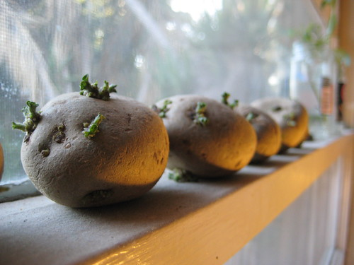 potatoes in the window