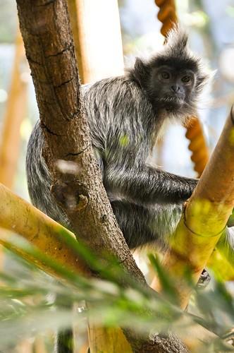 Mohawk Monkey