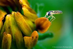 A Fly (© Pawel Baranowski) Tags: macro animals explore extensiontube zwierzaki canoneos30d ef85f18 ef85f18usm canonef85f18usm dslrcanon30d winnerbc