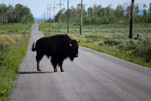 A bison crossing road