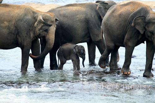 The Elephant Orphange - Pinnawala