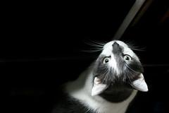 Can I Go Outside (victoria.anne) Tags: cat winnipeg kitty manitoba meow wolseley myroommatescat waitingatthedoor canigooutside daniscat hessoannoyinghowmuchhewantsout ilethimoutthistime youcantellicutoffonesideofhiswhiskersabout2monthsago wesometimesdontgetalong buuuutsometimeswearebuddies shenamedhimmeow itsveryannoyingtogooutsidetocallhimandlooklikethecrazyladyyellingmeow
