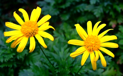 ASTERACEAE - Golden Queen (Argyranthemum frutescens)