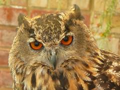 European Eagle Owl (Richard and Gill) Tags: bird isleofwight owl wight birdofprey iow plumage eagleowl europeaneagleowl havenstreet