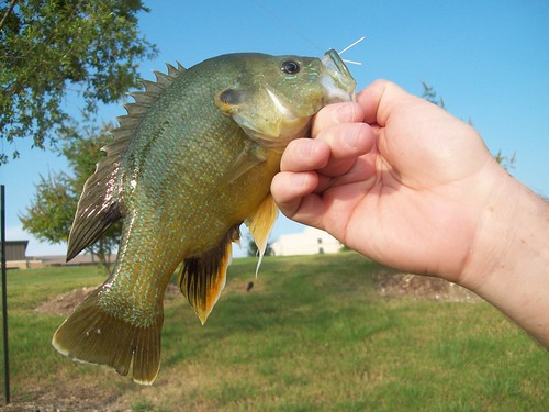 Huge green Sunfish!