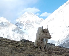 This is a Yak!