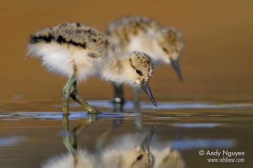 Baby Avocet with Reflection 3