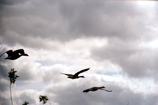 Geese in Flight - 3 (Click to enlarge)