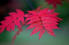 200910-14-FM2T-PRO800Z-85NIKKOR-020 copy (maddoc2003jp) Tags: autumn color slr film leaves sapporo nikon hokudai hokkaido f14 85mm fujifilm 135 nikkor kojo 2009 ais pro800z fm2t maddoc2003jp