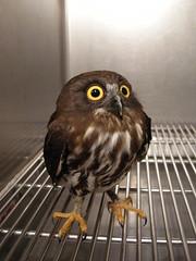 DSCN9057 (jacky elin) Tags: bird owl clinic 褐鷹鴞
