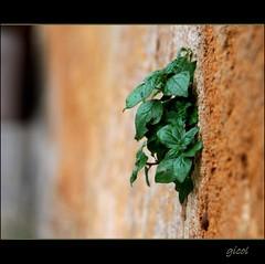 sprouting out (gicol) Tags: life plant muro green grass wall focus shoot dof young erba vida limestone yerba sprout fuoco vita pdc tufo giovane germoglio
