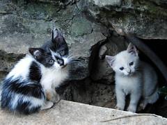 Gatos 025 (hugocamelo) Tags: white branco cat puppy kitten pussy kitty gato fofo filhote gatinho fofinho bonitinho gatobranco