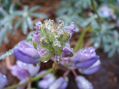 lupin (louisa_catlover) Tags: mist plant flower macro nature water fog garden droplets drops purple australia bluemountains dew nsw buds fabaceae lupin lupinus mountwilson