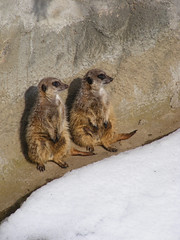 Always Nice To Have Someone (Christa Zee) Tags: its out zoo meerkat duty guard there timon potterparkzoo