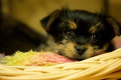 pups (digitalshay) Tags: dog dogs yorkie pups puppies yorkies yorkshireterrier d3 babydogs nikond3