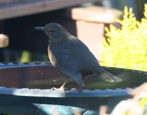 Blackbird at the Birdbath