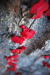 Red Leaves (Sandra Tegeland) Tags: powmerantusenord