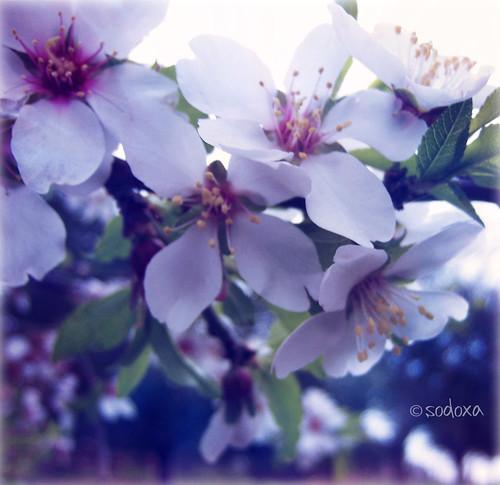 Blossom  by Sodoxa