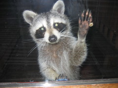 raccoon at my door