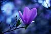 (ginnerobot) Tags: pink blue tree 50mm petals spring pretty blossom bokeh april magnolia