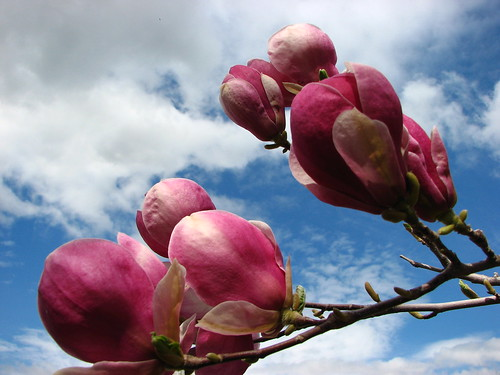 Magnolia in full bloom