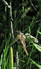 Wildfliers  ~ Song Sparrow (mdprovost ~ Prosper in 2017) Tags: bird preserve fortgratiot michigan wildlife nature forest songsparrow avian ave kingdomanimalia phylum chordata emberizidae passeriformes melospiza mmelodia wikipedia flora fauna family vacation wetlands hiking camping beaches botany historic preservation school education protected bass fishing joy fun hotels study beaver muskrat swan geese heron ducks cygnette duckling red tailed hawk black wild wilderness trails coyote finch wren deer horses insecta insects reptiles turtle dam butterflies habitat environs humanity hatchlings chicks science biology history