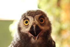 Hedwig (felt_tip_felon) Tags: portrait bird eyes chick owl stare snowyowl ar1 vosplusbellesphotos vosplusbelles