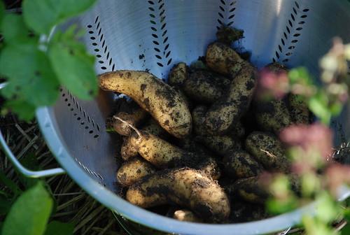 potatoes Jeremy dug