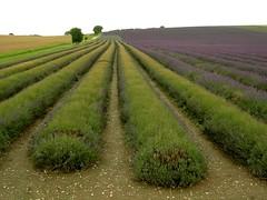 P365/2009/218  Harvest