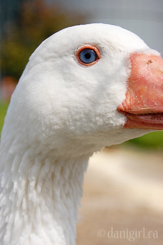 211b:365 Goose
