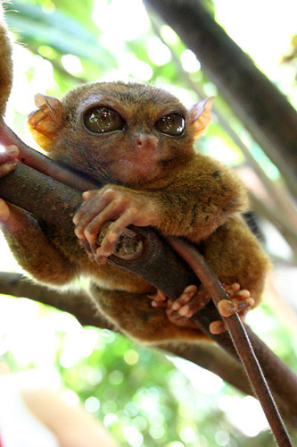 tarsier-philippines-10 by you.