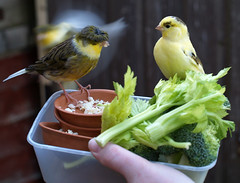 Canaries eating (the.deanery) Tags: uk england food birds egg olympus aviary couscous canaries celery e500 fourthirds aviculture brocholli birdkeeping