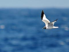 Sabine's Gull (Xema sabini) (Ronan.McLaughlin) Tags: ocean blue ireland sea white bird nature water birds nikon marine wildlife kerry atlantic shore maritime pelagic oceanic sabinesgull xemasabini irishwildlife sigma150500