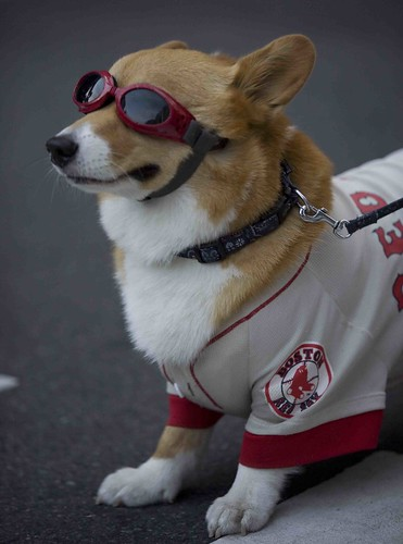 red sox dog