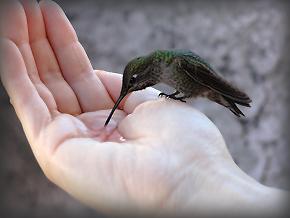 Anna's Hummingbird hand0912