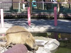 Capybara (CapybaraJP) Tags:  izu capybara  biopark