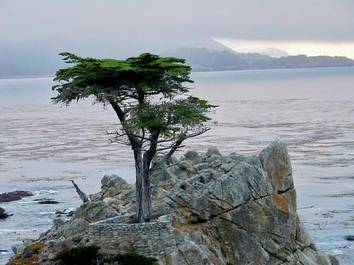 Lone cypress 3
