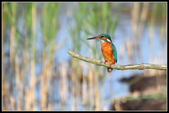 Female Kingfisher (Robert Geldard) Tags: bird nature water nikon wildlife norfolk kingfisher fakenham d90 sculthorpemoor