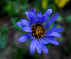 (MidnightPics) Tags: blue flower macro petals perfectpetals top20blue macrocommentsplease flowersmakeeveryonehappy thisphotorocks frangrantflowers awesomeblossoms flickrsfinestflowers onlyflowers soloflores flickrswesomeblossoms midnightpics