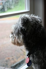 toby dog grey lonely humanesociety