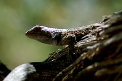 Stuart (gombessagirl) Tags: collared lizard collar tree juniper pine cedar green reptile pose motaqua road washington county southern utah desert fossil scales eye sceloporus magister spiny