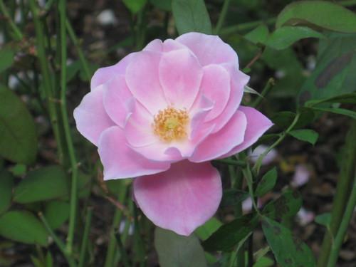 Gramercy Park Rose