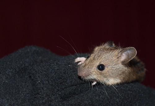 Mouse / Maus