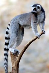 Ring tailed lemur (floridapfe) Tags: nature animal zoo nikon korea ring lemur tailed everland ringtailedlemur